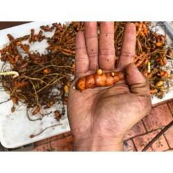 Turmeric (curcuma longa)...