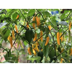 15x Sunshine chili (Aji...