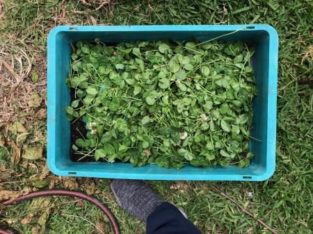 white-clover-mulch-02.jpg