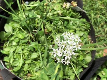 white-clover-mulch-04.jpg