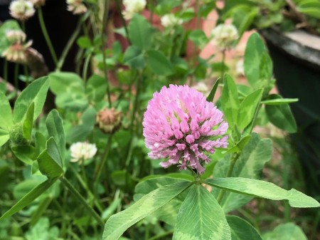 red-clover-mulch.jpg